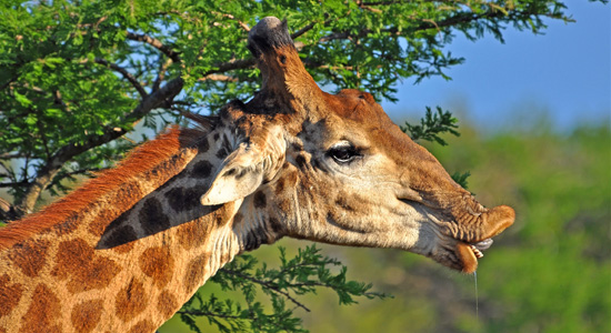 Giraffe Sighting Hluhluwe iMfolozi uMfolozi Self-Catering Accommodation