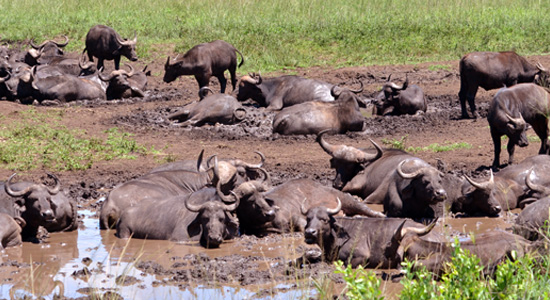 Mpila Camp Buffalo Safari Accommodation Hluhluwe iMfolozi Game Reserve