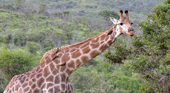 Mpila Camp Giraffe Safari Accommodation Hluhluwe iMfolozi Game Reserve