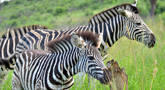 Mpila Camp Zebras Safari Accommodation Hluhluwe iMfolozi Game Reserve